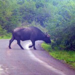 Kenyan Safari - Buffalo on the road