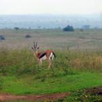 Gazelle - Kenya Safari Game Drive