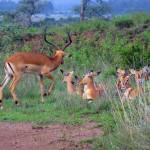 Flock Of Gazelles Resting in Kenya