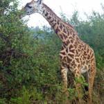 Majestic Kenyan Giraffes