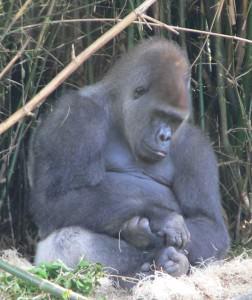 Gorilla_gorilla_gorilla13