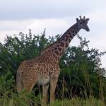 Safari in Kenya - Wildlife Adventures