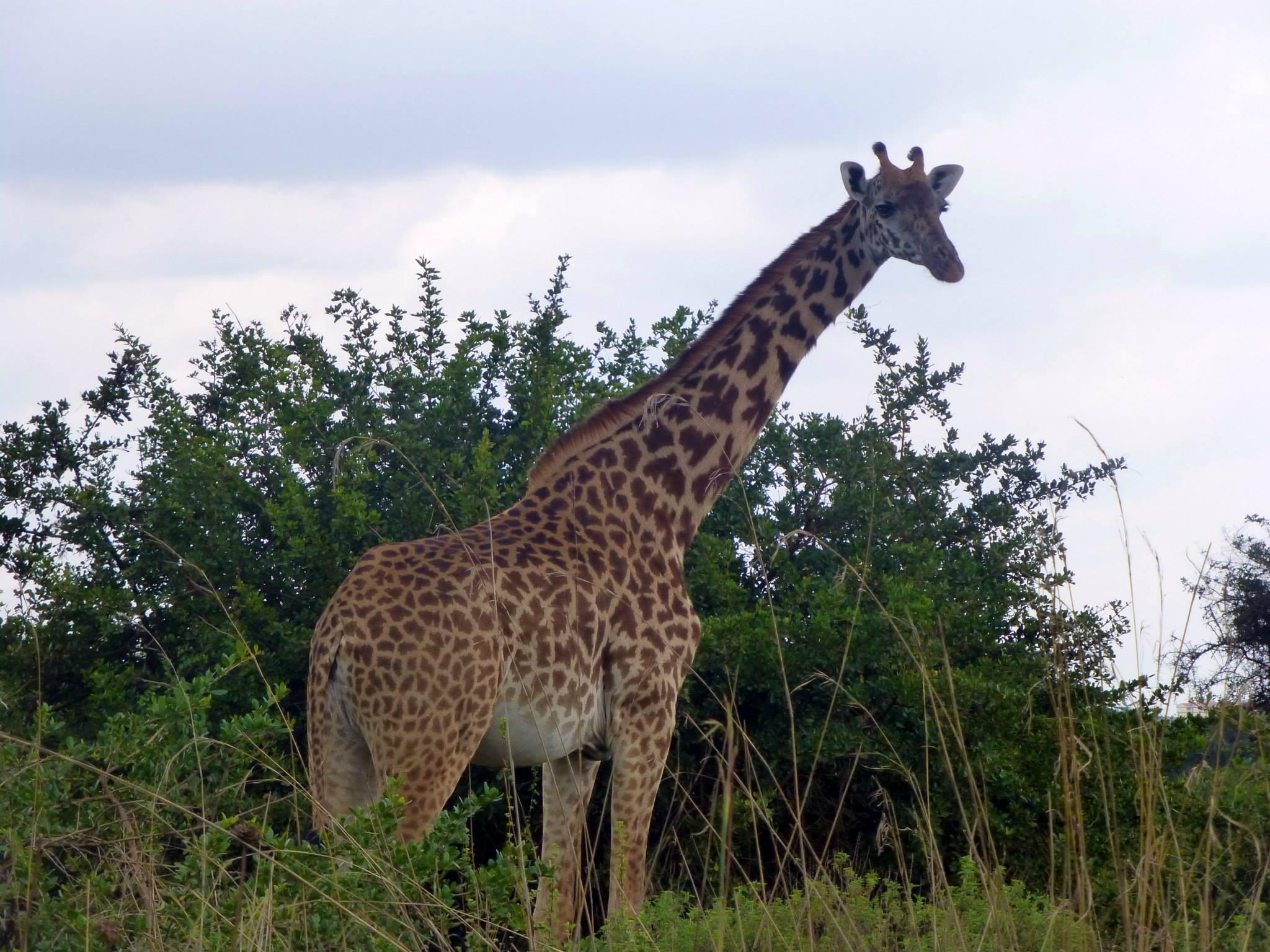 Giraffe in Nairobi National Park - Safari In Kenya
