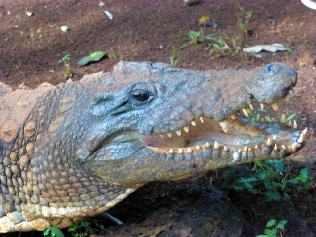 laughing-crocodile-kenya
