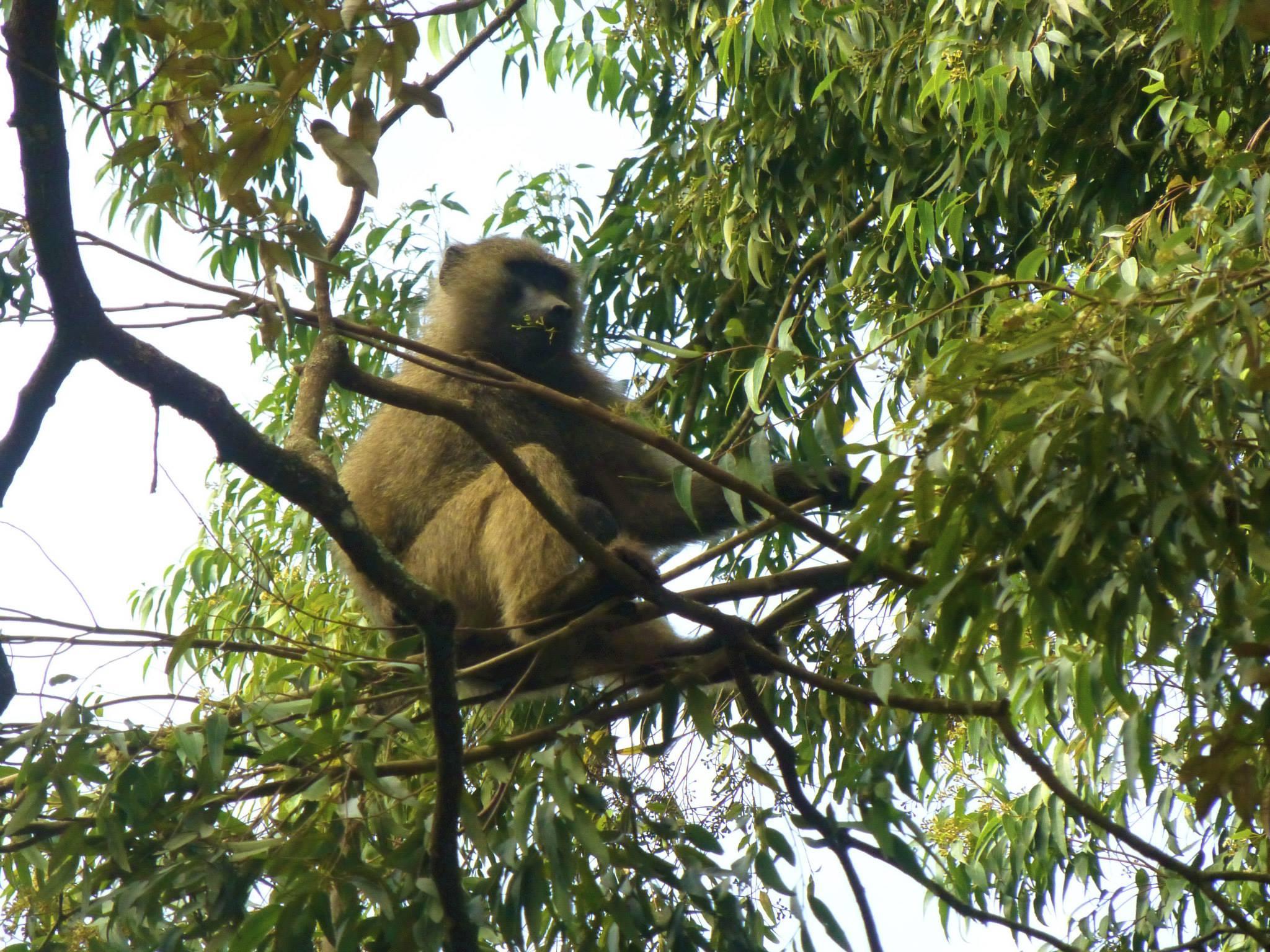 nairobi-baboon