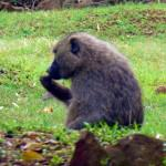 nairobi-national-park-orphanage-baboon