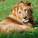 nairobi-national-park-orphanage-lion