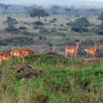 nairobi-national-park-wildlife-gazelles