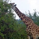 nairobi-national-park-wildlife-giraffe