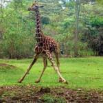 nairobi-safari-walk-baby-giraffe
