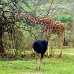nairobi-safari-walk-giraffe