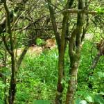 nairobi-safari-walk-lioness