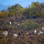 ngong-hills-goats