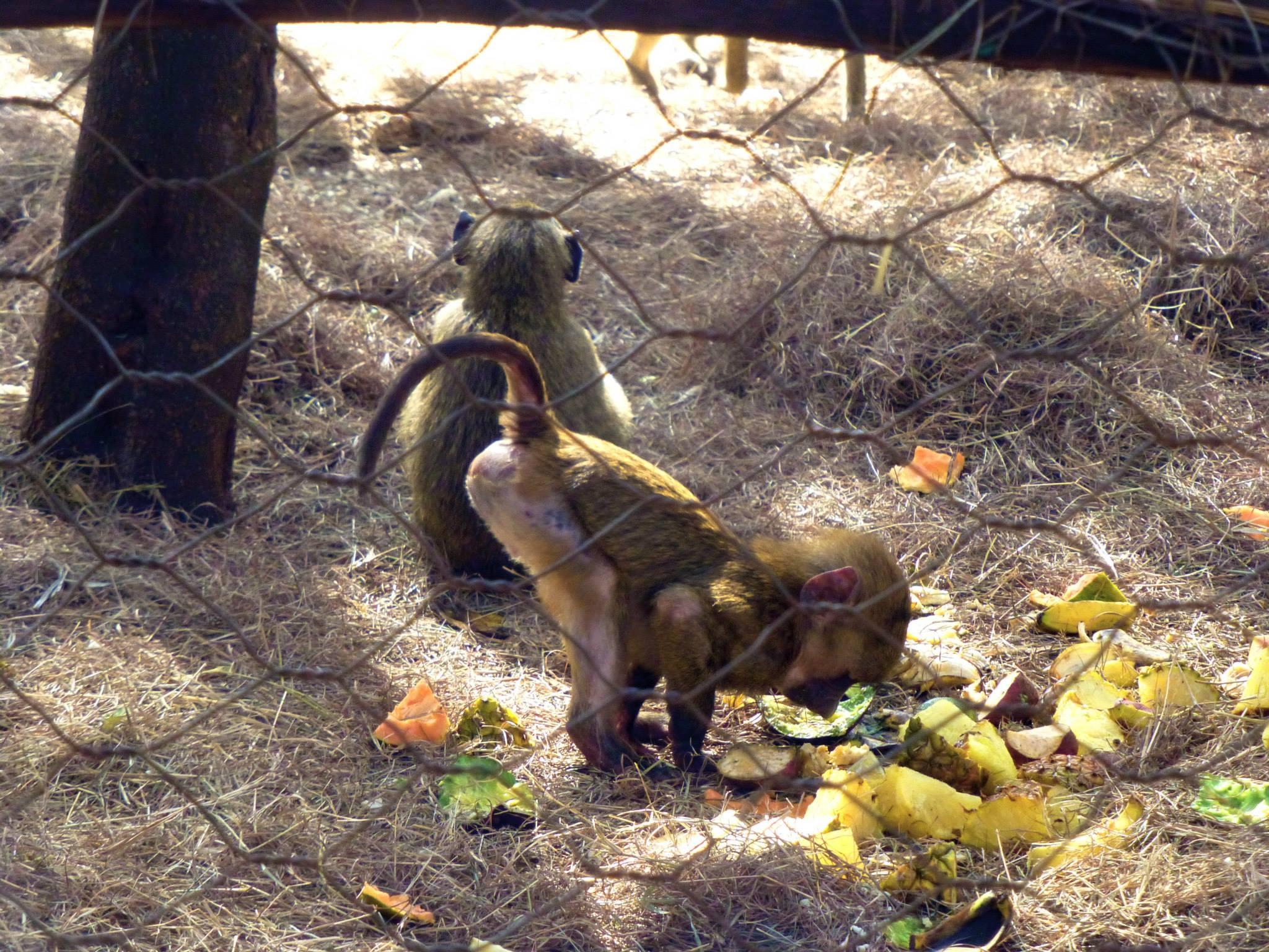 orphan-monkeys-nairobi