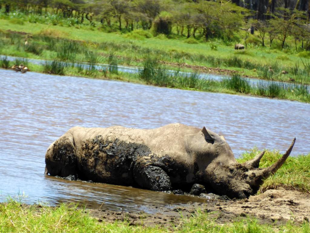 Northern White Rhino in Kenya