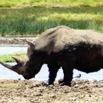 Endangered Northern White Rhino Kenya