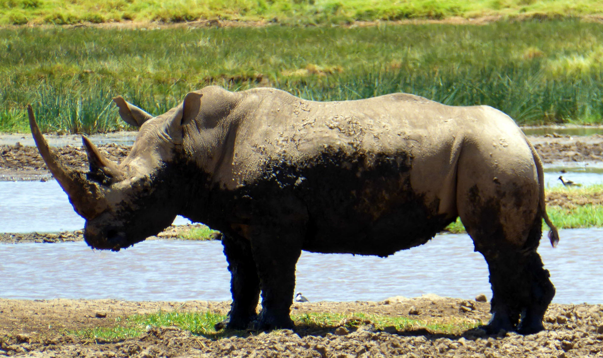 Northern White Rhino Kenya
